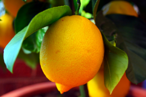 Growing Lemon Trees Indoors: 7 Basic Tips