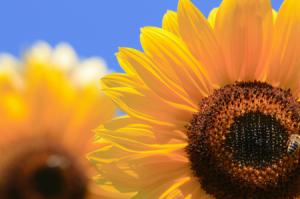 Basic Sunflower Care