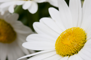 Shasta Daisy: Mistakes to Avoid when Growing