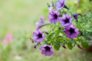 How to Get Petunias to Last Throughout Summer