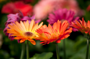 Gerbera Daisy: How to Grow Indoors