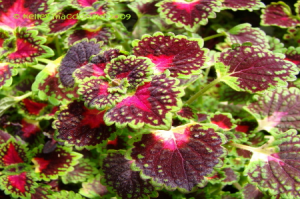 3 Steps to Growing Coleus Indoors
