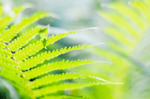 How to Trim a Boston Fern